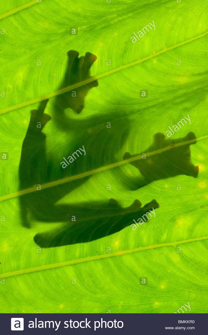 Silhouette de Wallace's Flying Frog sur feuille de palmier. Danum Valley, Sabah, Bornéo. Photo Stock