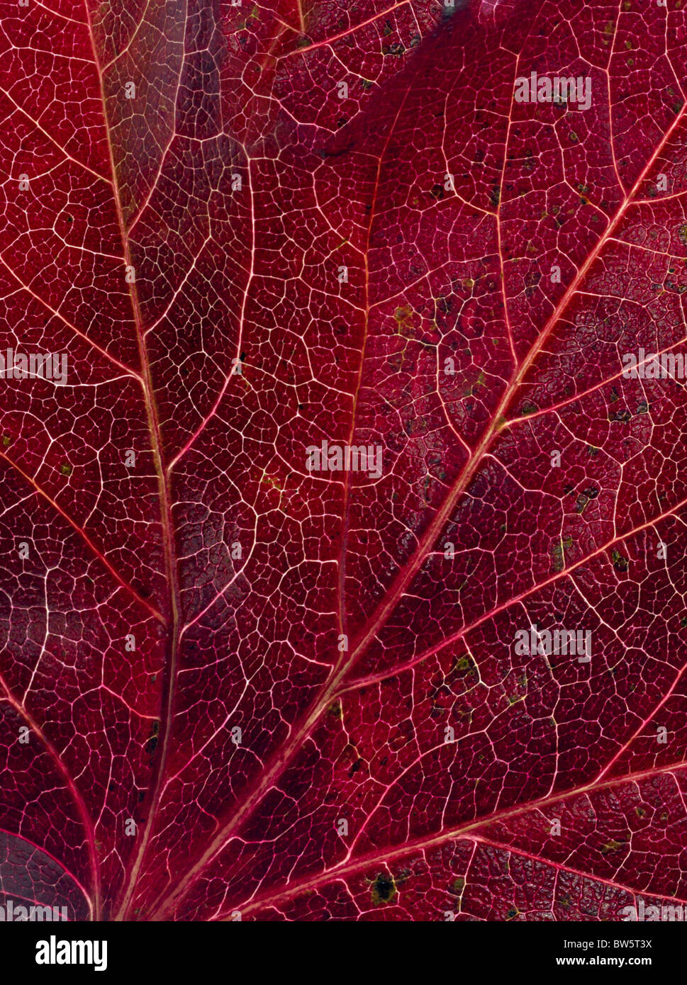 Macro close-up de nervures des feuilles Photo Stock