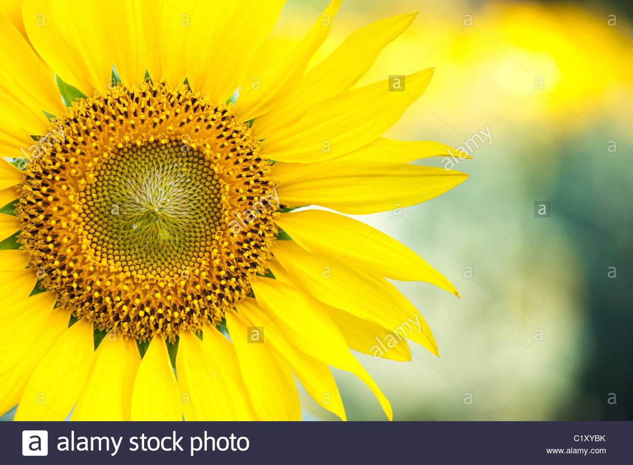 Dans la campagne indienne de tournesol, de l'Andhra Pradesh, Inde Photo Stock