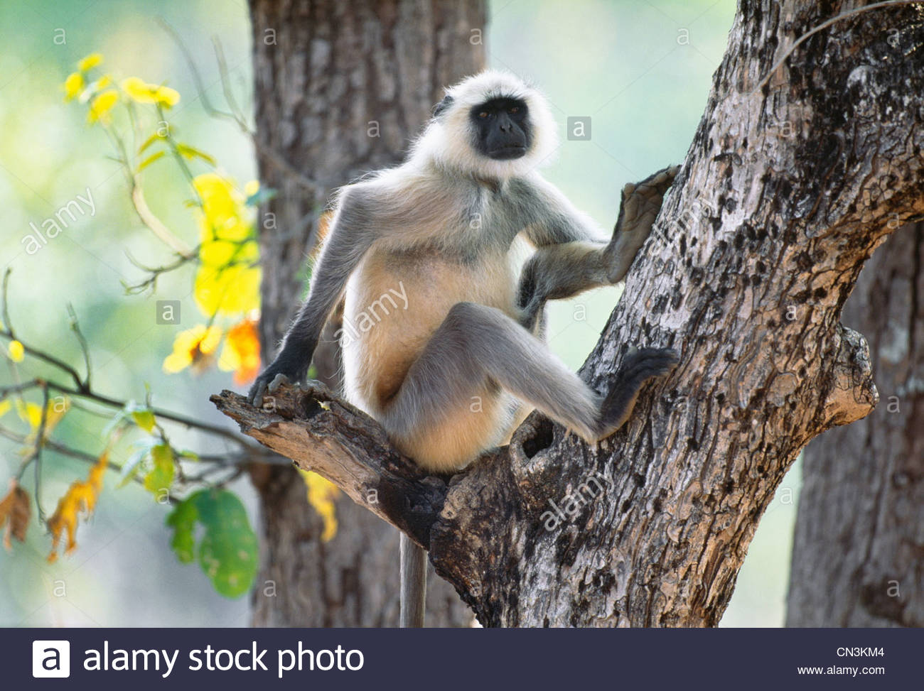 Langur Hanuman, Ranthambhore National Park, Inde Photo Stock
