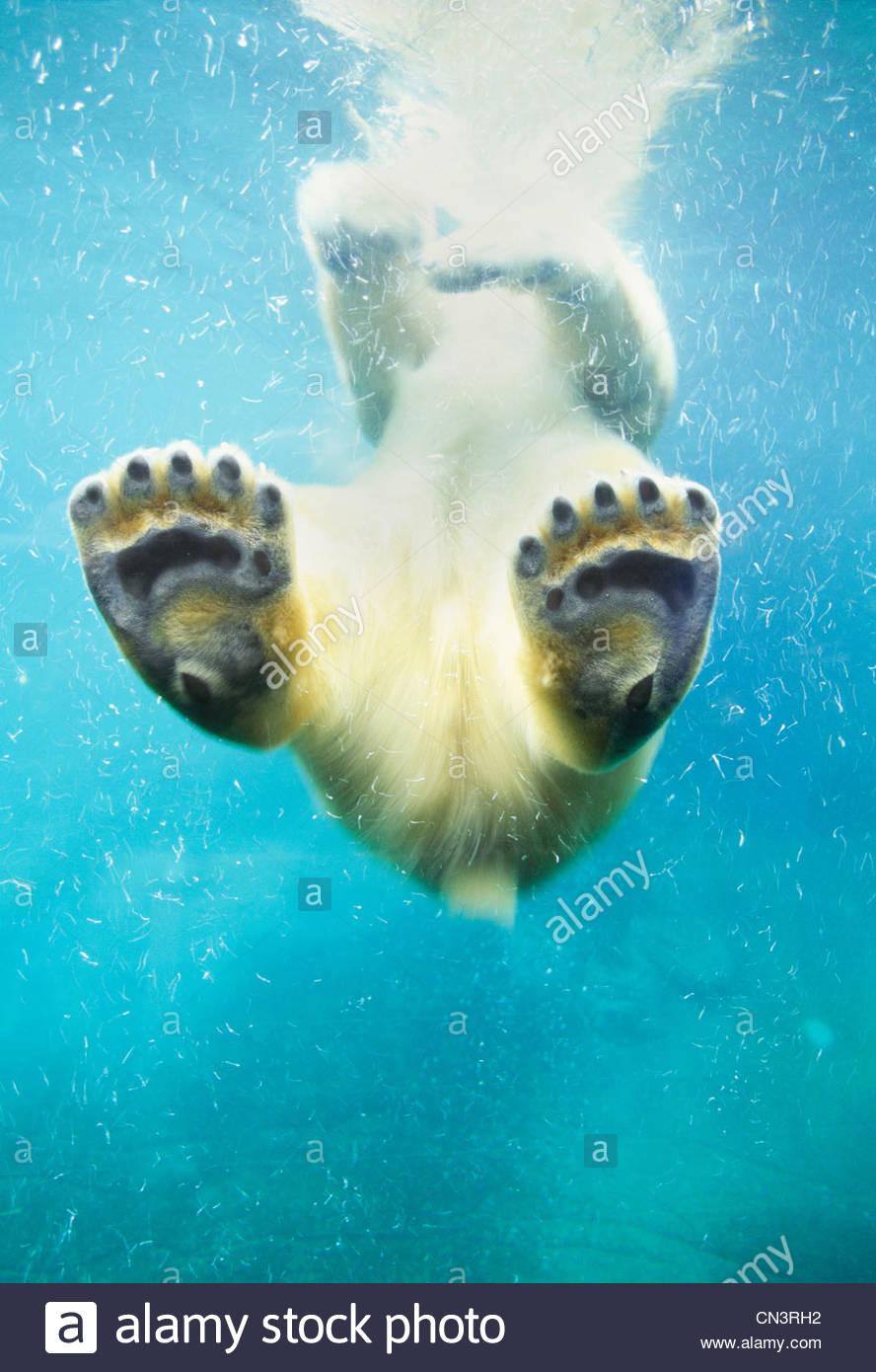 Natation l'ours polaire, l'Amérique du Nord Photo Stock