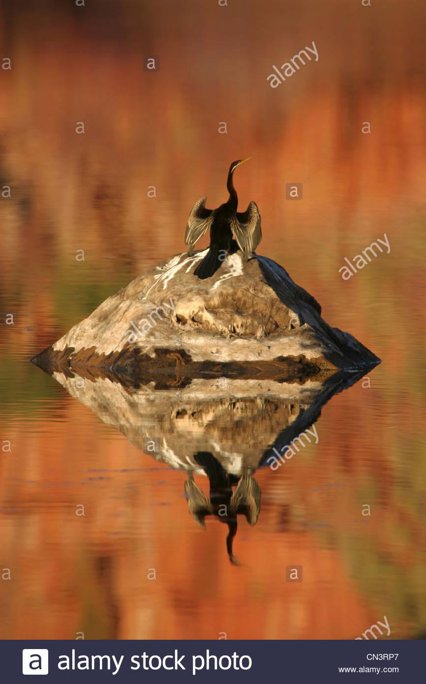 Un vert drys ses ailes au soleil après une plongée, sanctuaire de Mornington, dans l'ouest de l'Australie. Photo Stock