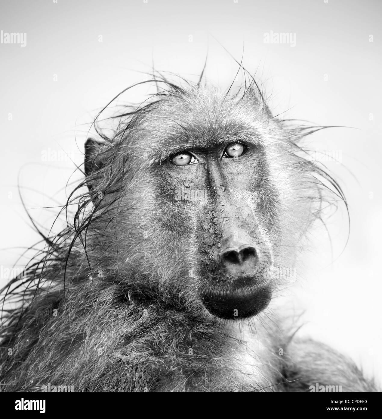 Le babouin dans la pluie (traitement artistique) Photo Stock