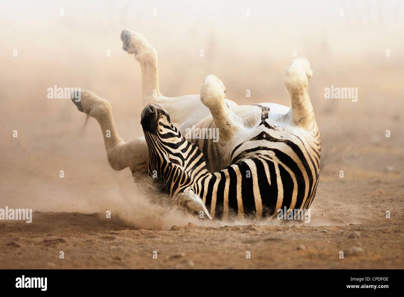 Zebra roulant sur le sable blanc poussiéreux d'Etosha. Photo Stock