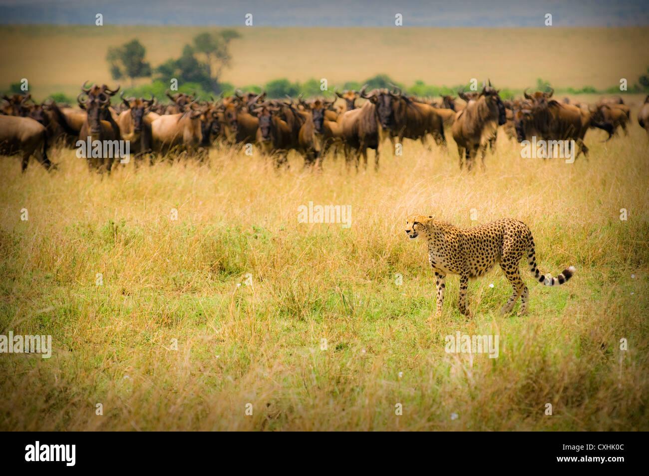 chasse du guépard Photo Stock