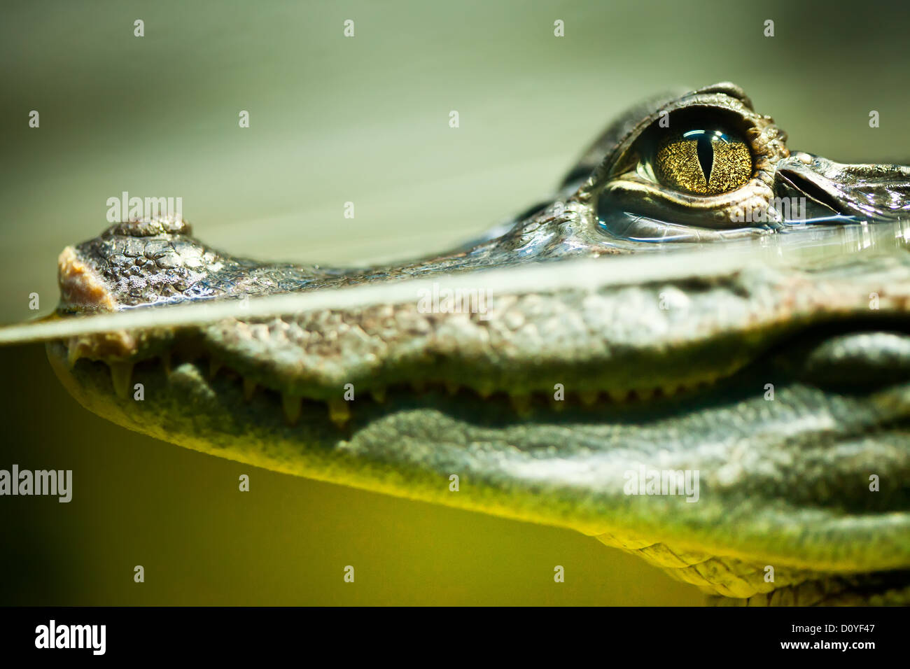 Caiman crocodilus Photo Stock