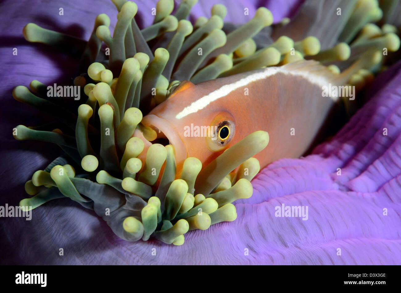 Poisson Clown Amphiprion sandaracinos, Skunk, îles Similan, Thaïlande Photo Stock
