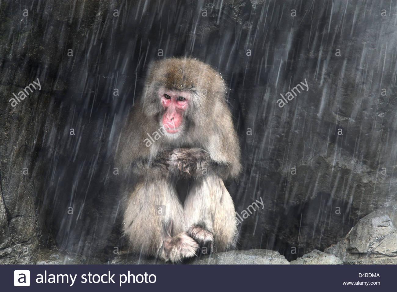 Une femelle Snow Monkey abrite à partir d'une tempête Photo Stock
