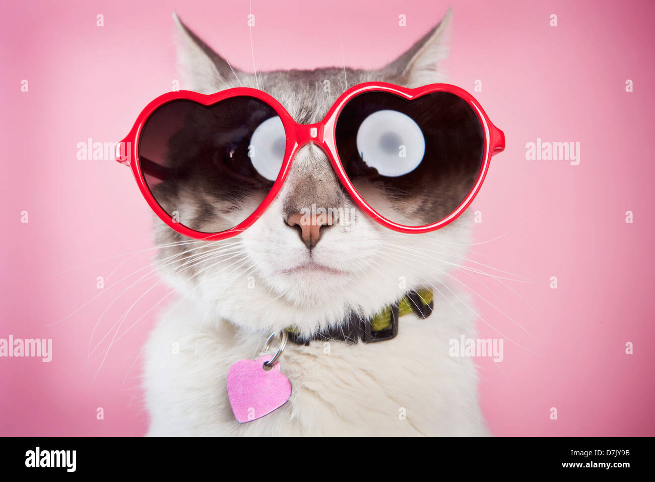 Valentine cat posant avec amour rouge lunettes contre fond rose Photo Stock