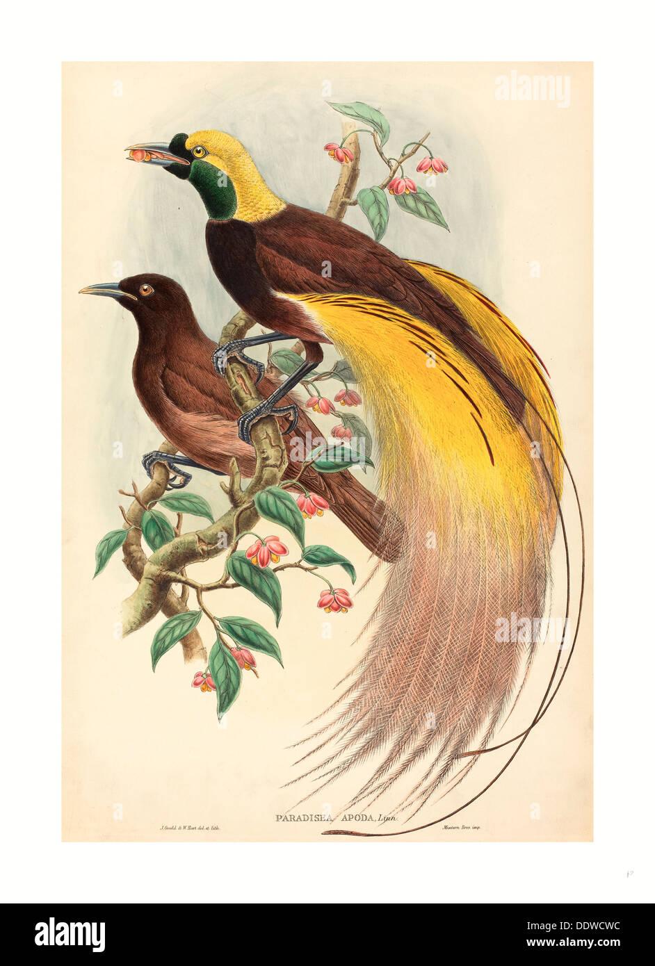 John Gould et W. Hart (British, 1804 - 1881 ), les Oiseaux du Paradis (Paradisea apoda), publié 1875, 1888 Photo Stock