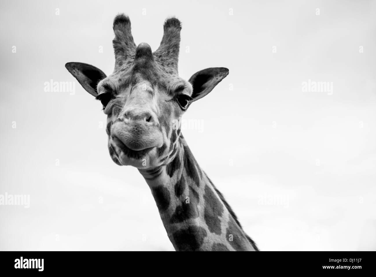 Un seul portrait de girafe en noir et blanc Photo Stock