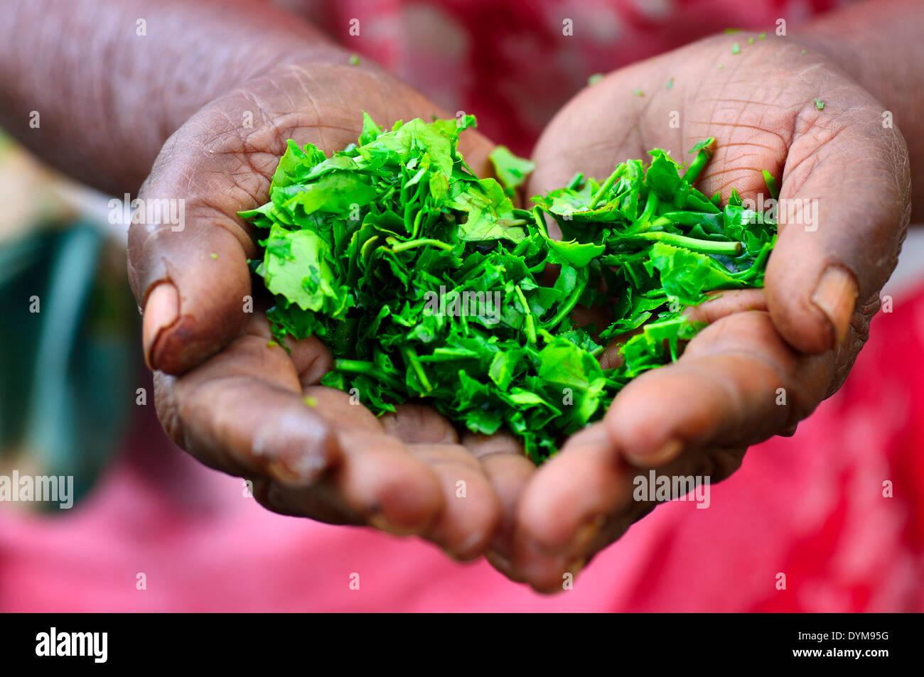 Femme âgée tenant dans ses mains des feuilles de thé, Ella, Uva, Sri Lanka Photo Stock