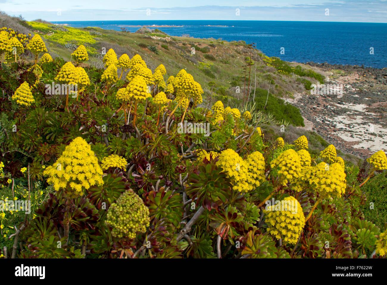 Succulentes aeonium arboreum houseleek une masse de fleurs jaunes une mauvaise herbe - Mauvaise herbe fleur jaune ...