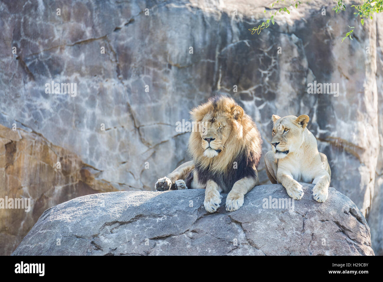 male lions laying photos male lions laying images alamy. Black Bedroom Furniture Sets. Home Design Ideas