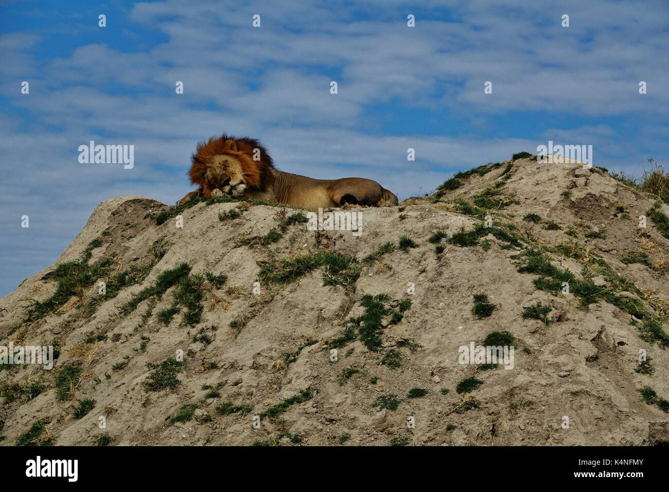 Sleeping lion photos sleeping lion images alamy - Dormir la tete au sud ...