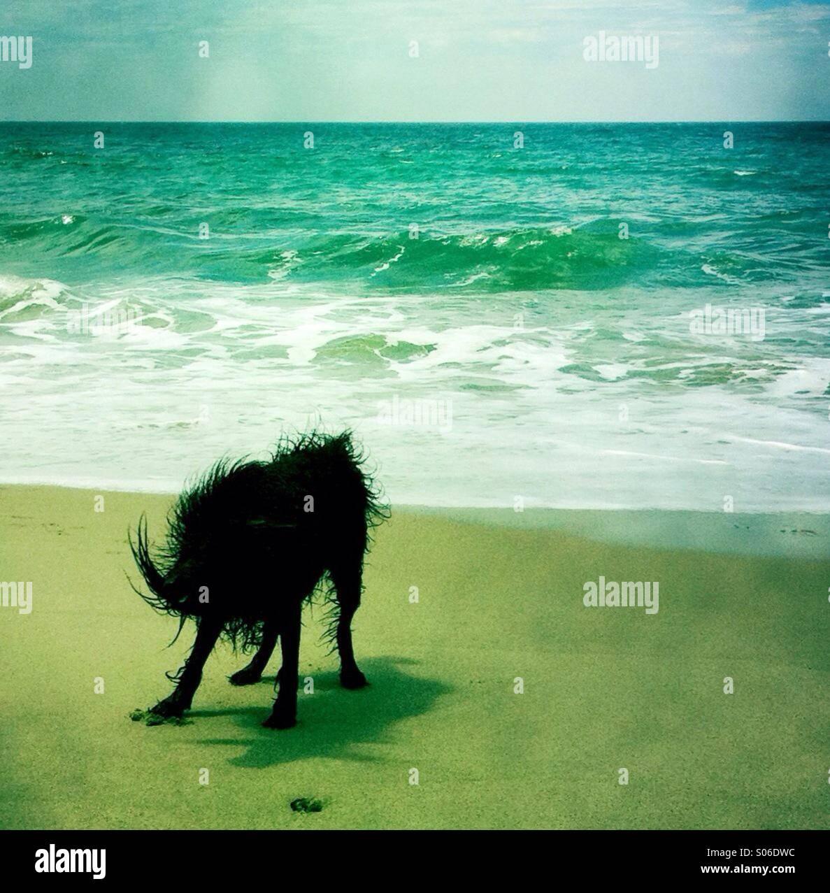 Un chien noir labradoodle shakin off l'eau à la plage. Ventura California USA. Photo Stock