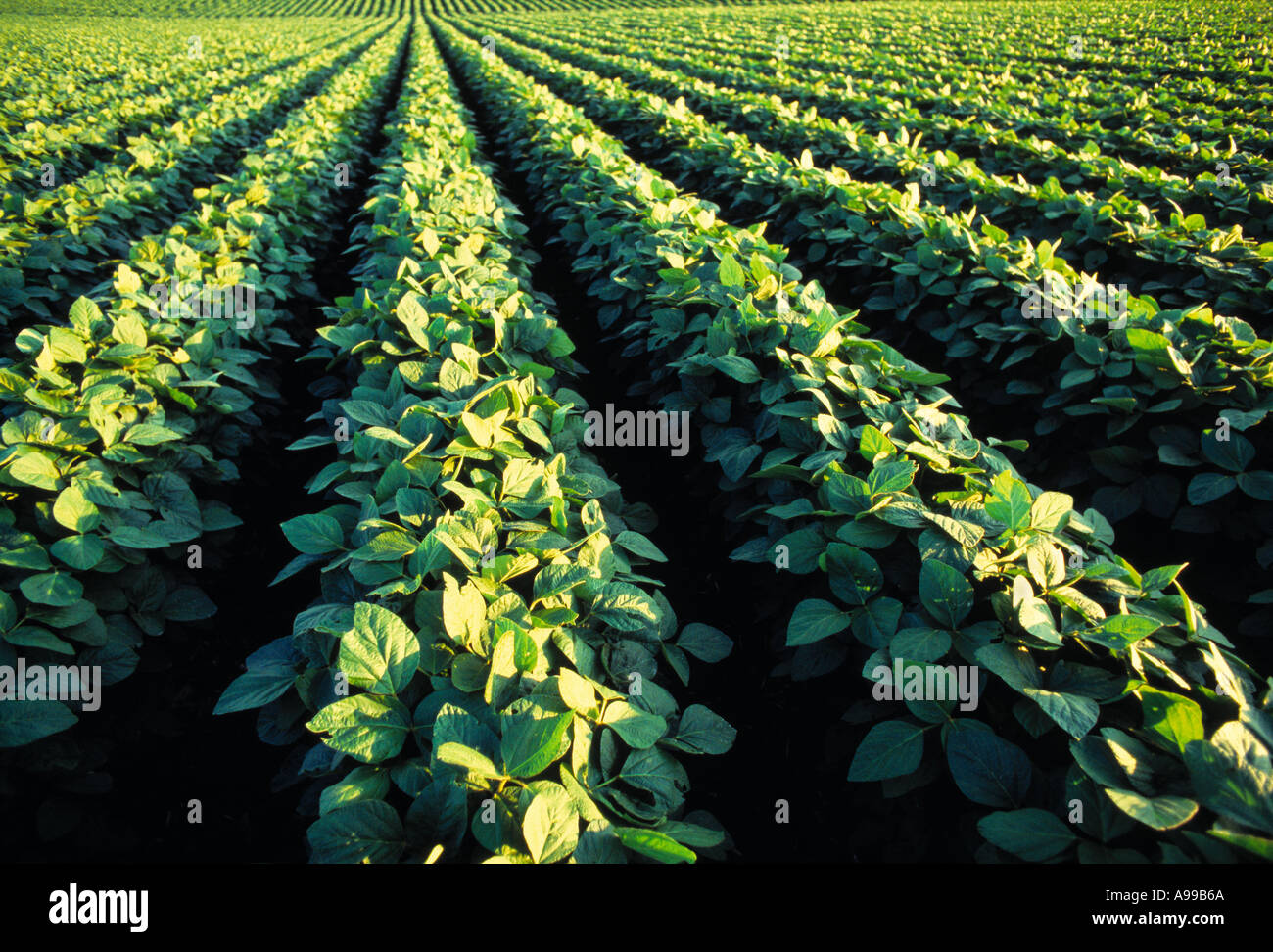 Agricoltura - metà della crescita campo di soia / Iowa (USA). Immagini Stock