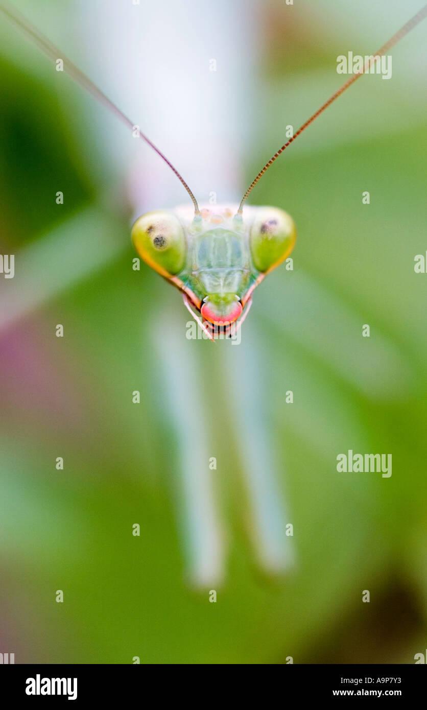 Testa ravvicinata di una mantide religiosa sulla pianta verde Immagini Stock