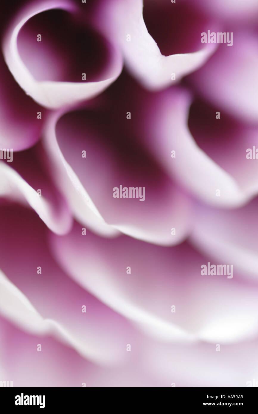 Close up viola bianco petali di fiore Dahlia Immagini Stock