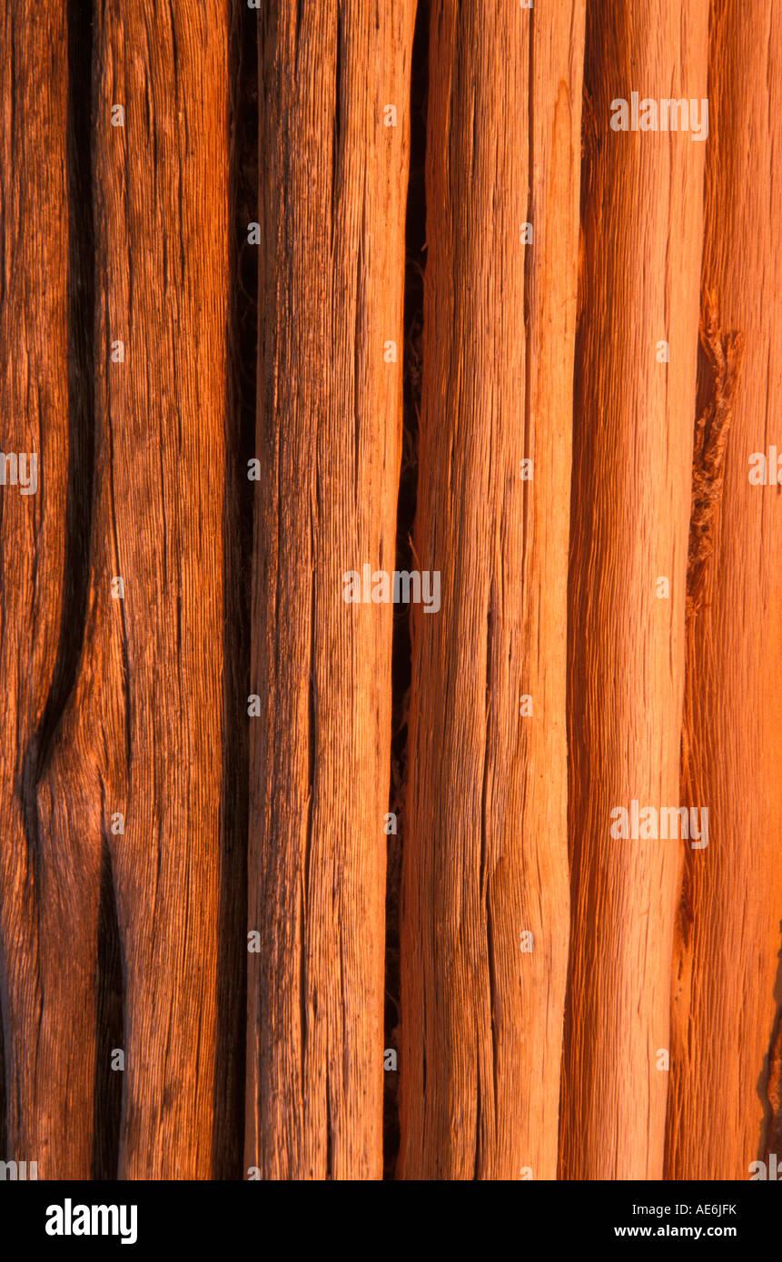 Saguaro nervature nella luce del pomeriggio, Arizona Immagini Stock
