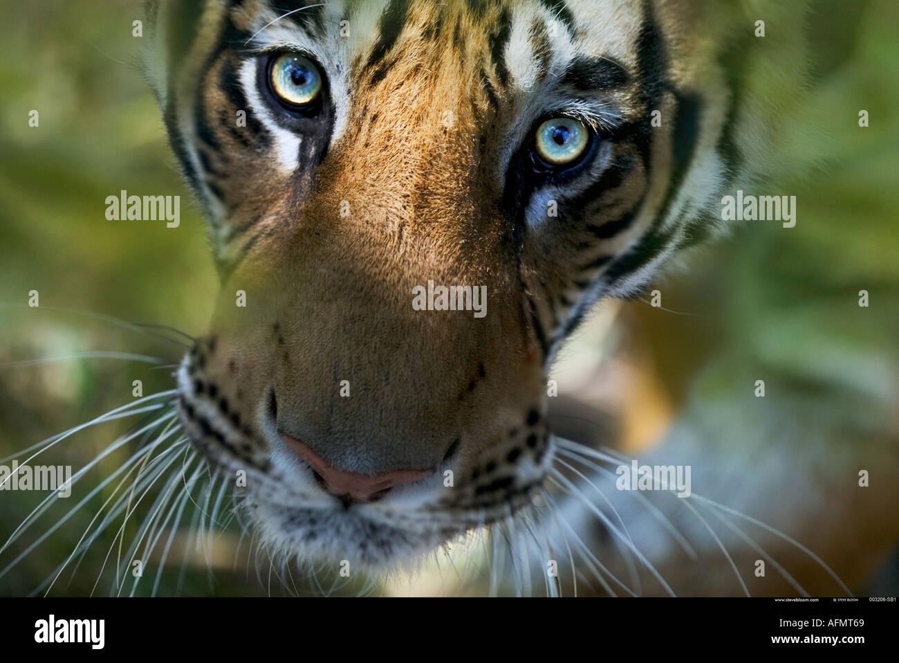 Tigre del Bengala cercando Bandhavgarh India Immagini Stock