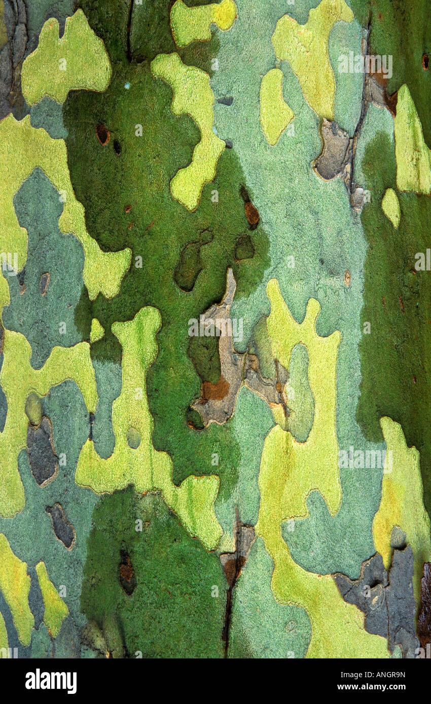 Corteccia di platano dettaglio, London, Ontario, Canada. Immagini Stock