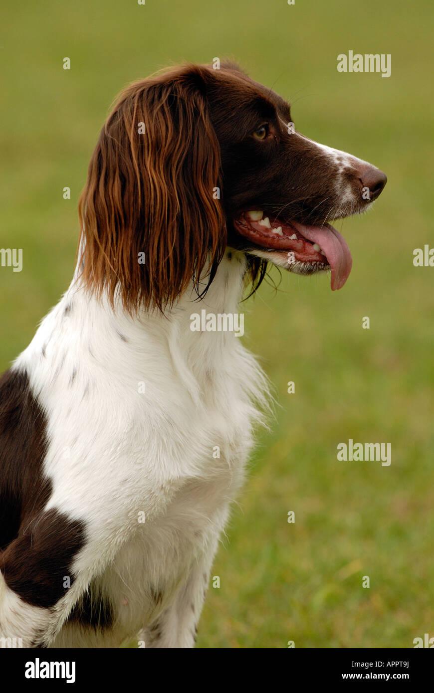 Springer spaniael dog sitter con la lingua di fuori ansimando e cercando alert guardare qualcosa prestando attenzione Immagini Stock