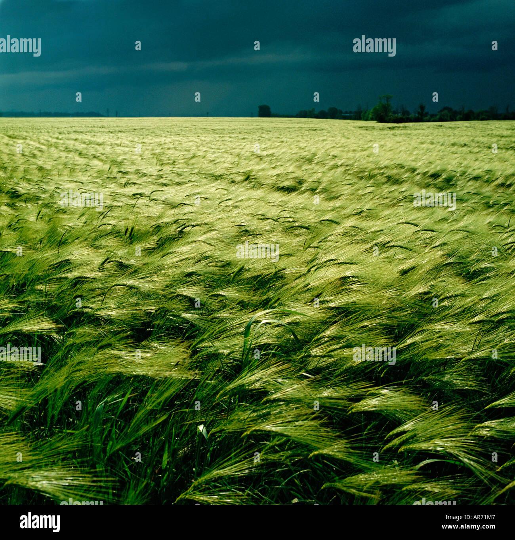 GB WILTSHIRE cielo tempestoso orzo campo nei pressi di Salisbury Immagini Stock