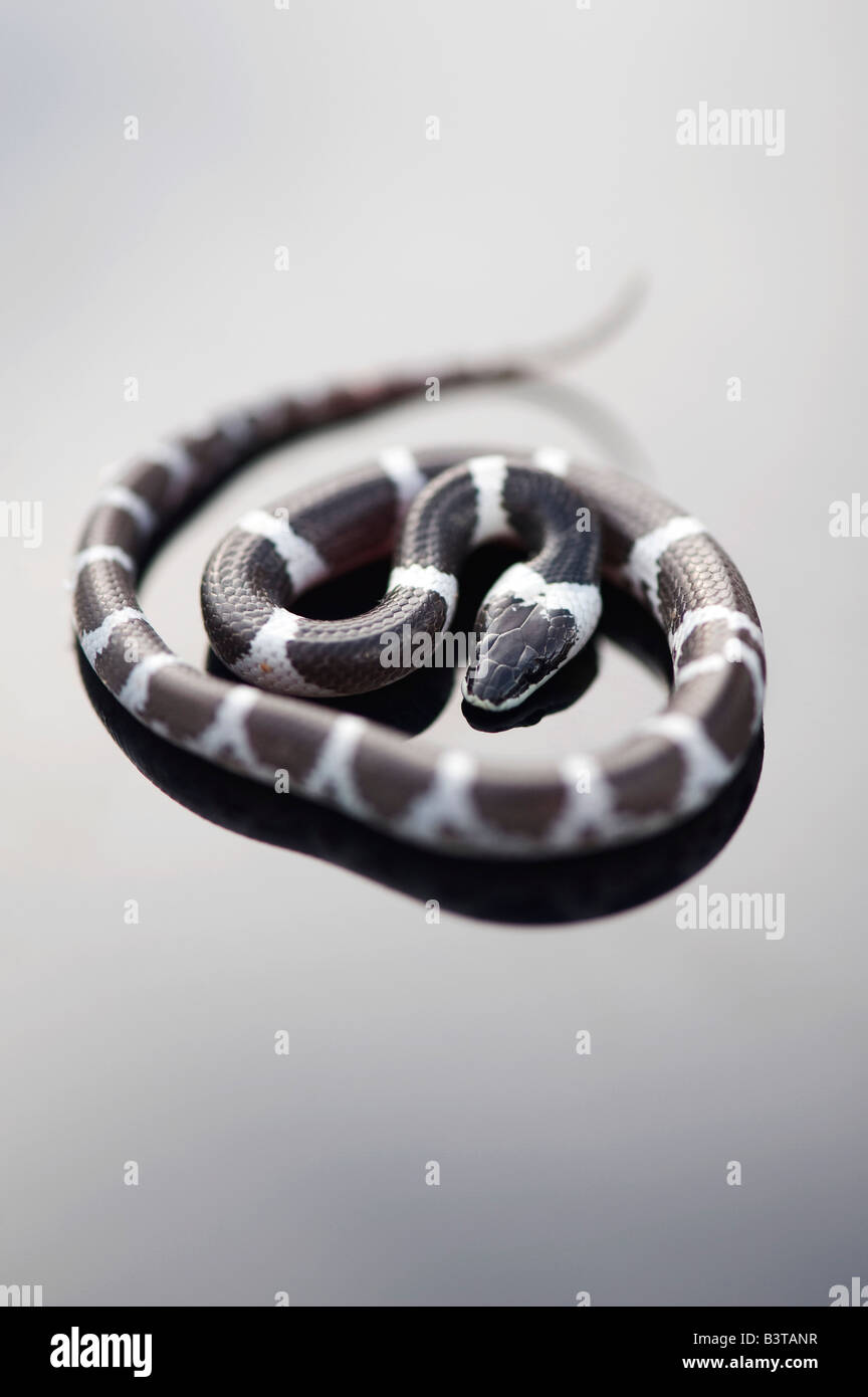 Lycodon septentrionalis. I capretti White-Banded Wolf Snake su sfondo scuro Immagini Stock