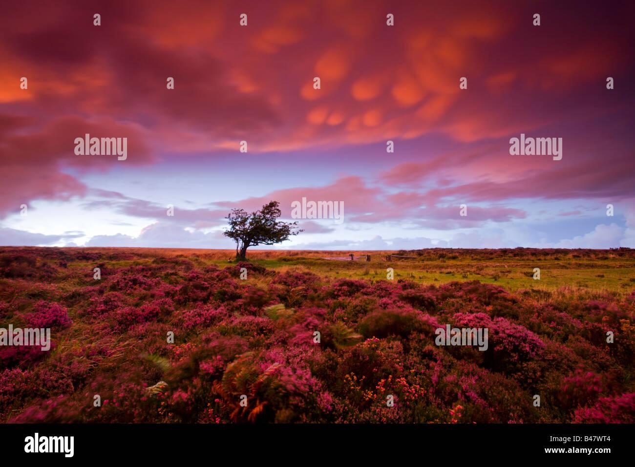 Tempestoso tramonto del heather tappezzate Dunkery Collina Parco Nazionale di Exmoor Somerset Inghilterra Immagini Stock