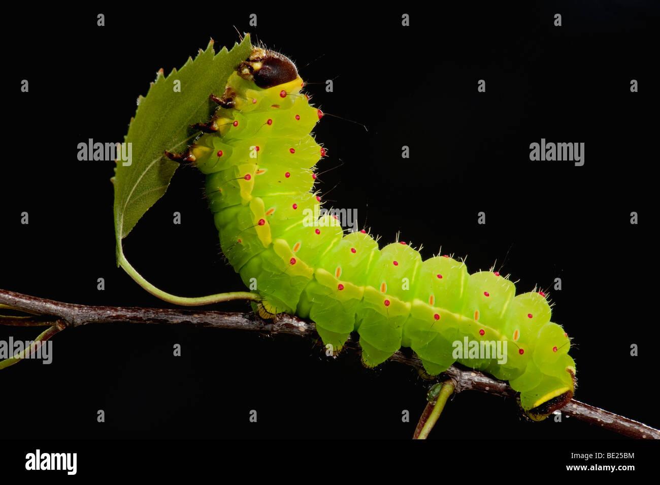 Luna o Luna Moth Caterpillar Actias luna larve alimentazione su Betulla foglie verde brillante Immagini Stock