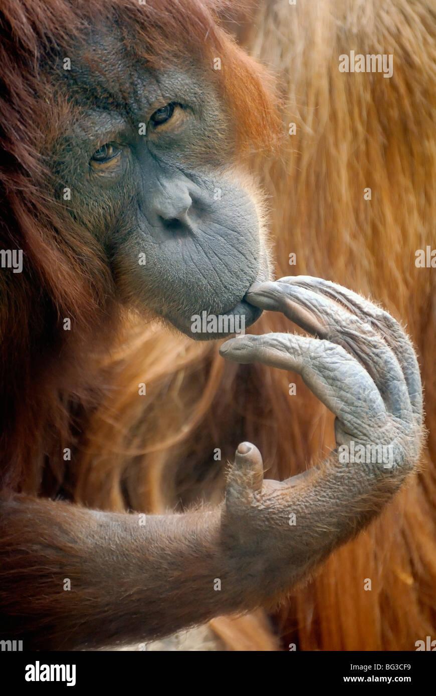 Bornean Orangutan / Pongo pygmaeus Immagini Stock