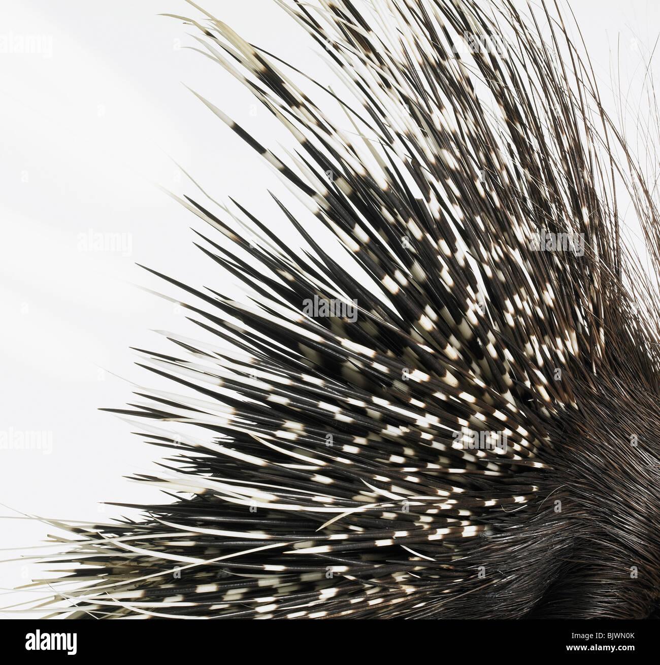 Porcupine quills Immagini Stock