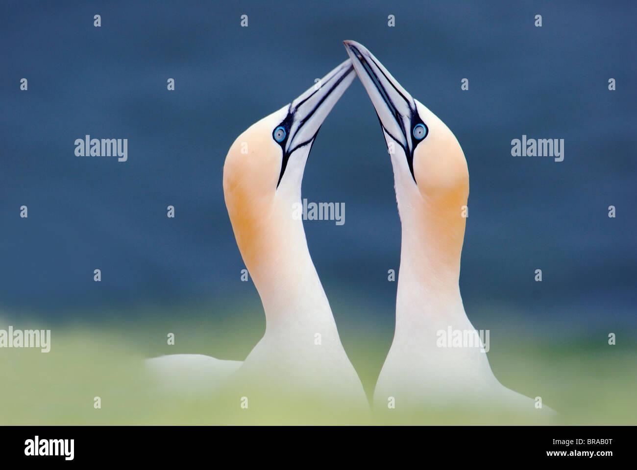 Northern gannet (Sula / Morus bassana) coppia corteggiamento, Isola di Helgoland, Germania Immagini Stock