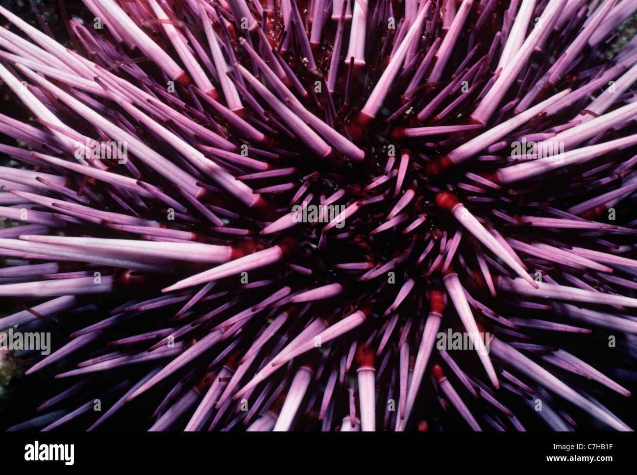 Viola ricci di mare (Strongylocentratus purpuratus) alimentazione su kelp. Isole del Canale, California (USA) - Immagini Stock