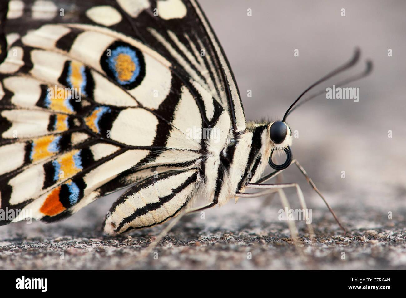 Papilio demoleus . Farfalla di lime Immagini Stock