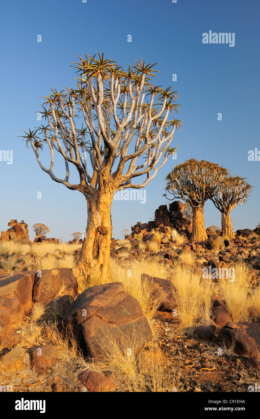 Faretra di albero in albero faretra foresta, Aloe dichotoma, Quiver tree forest, Keetmanshoop, Namibia Immagini Stock