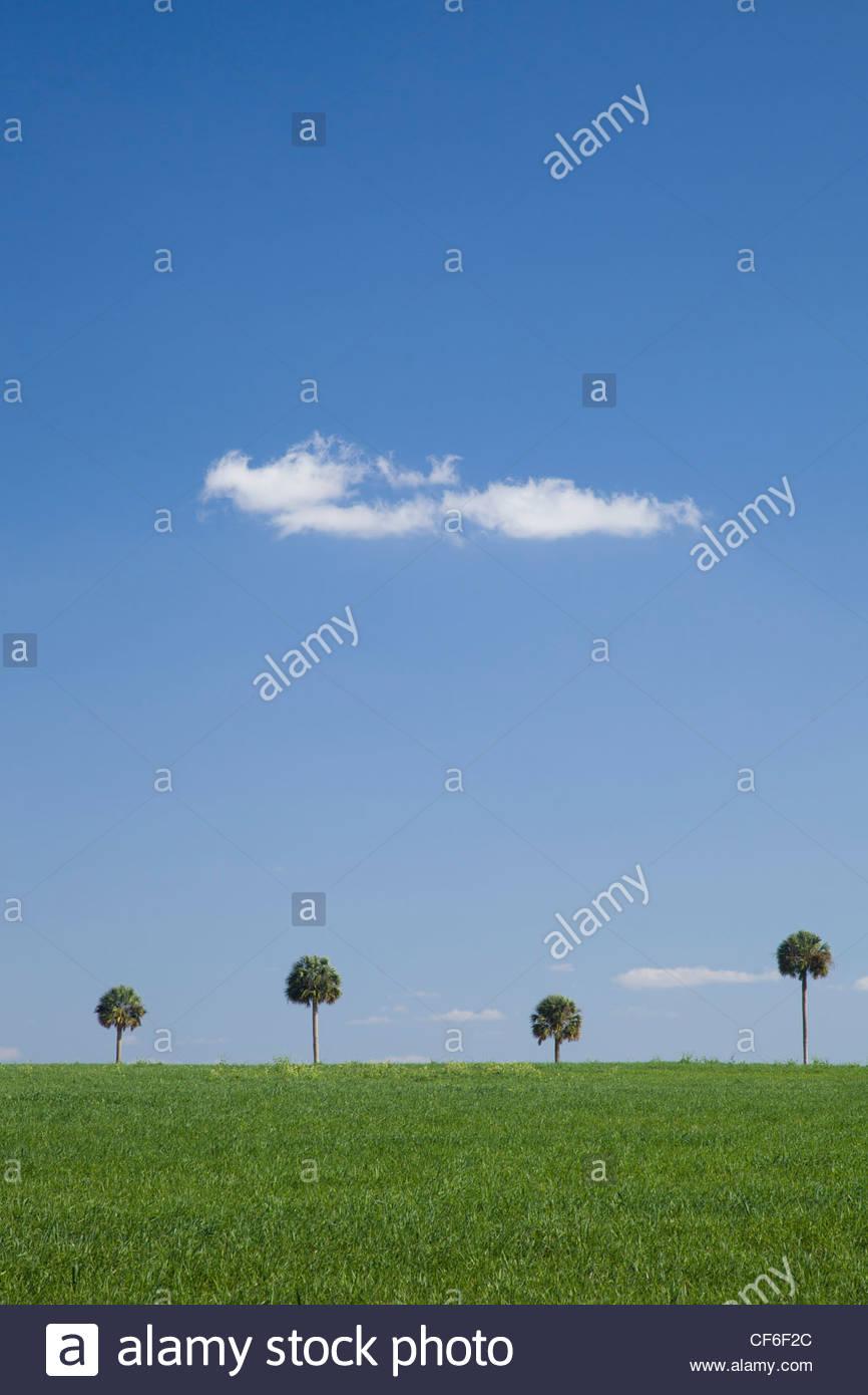 Gli alberi di palma, Central Florida Immagini Stock