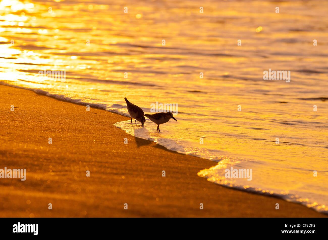 Sanderlings-'Hunakai' in lingua hawaiana (Calidris alba), Spiaggia di Polihale, Kauai, Hawaii Immagini Stock