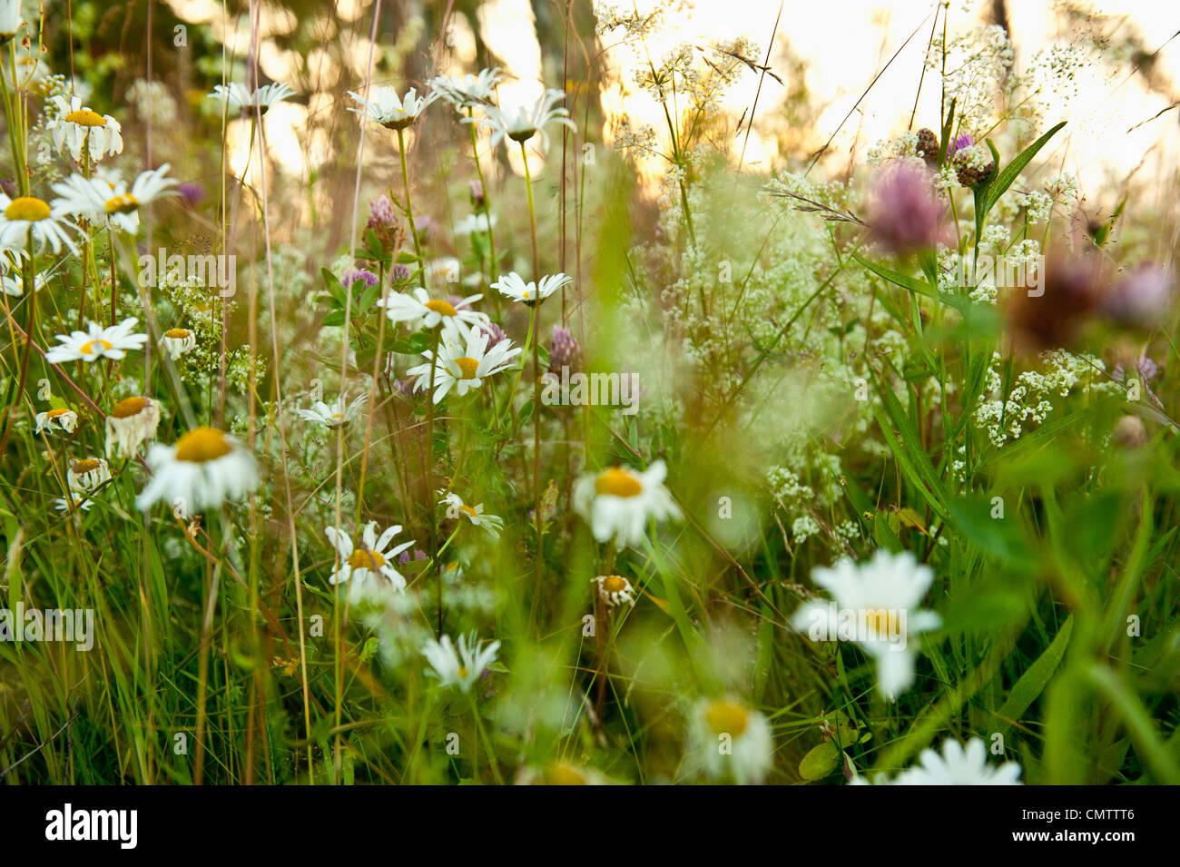 Messa a fuoco selettiva di fiori selvatici Immagini Stock