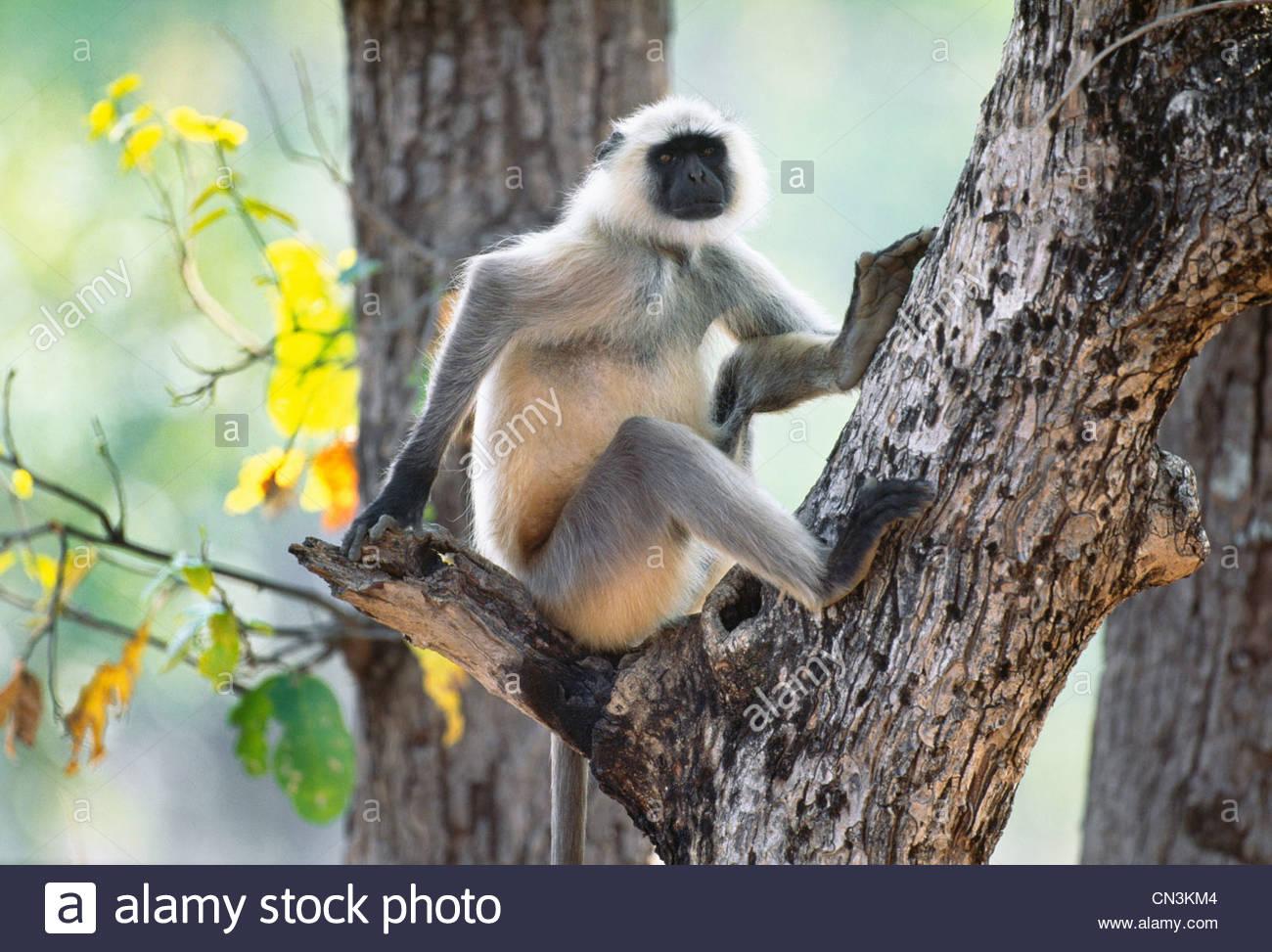 Hanuman langur, Ranthambhore National Park, India Immagini Stock