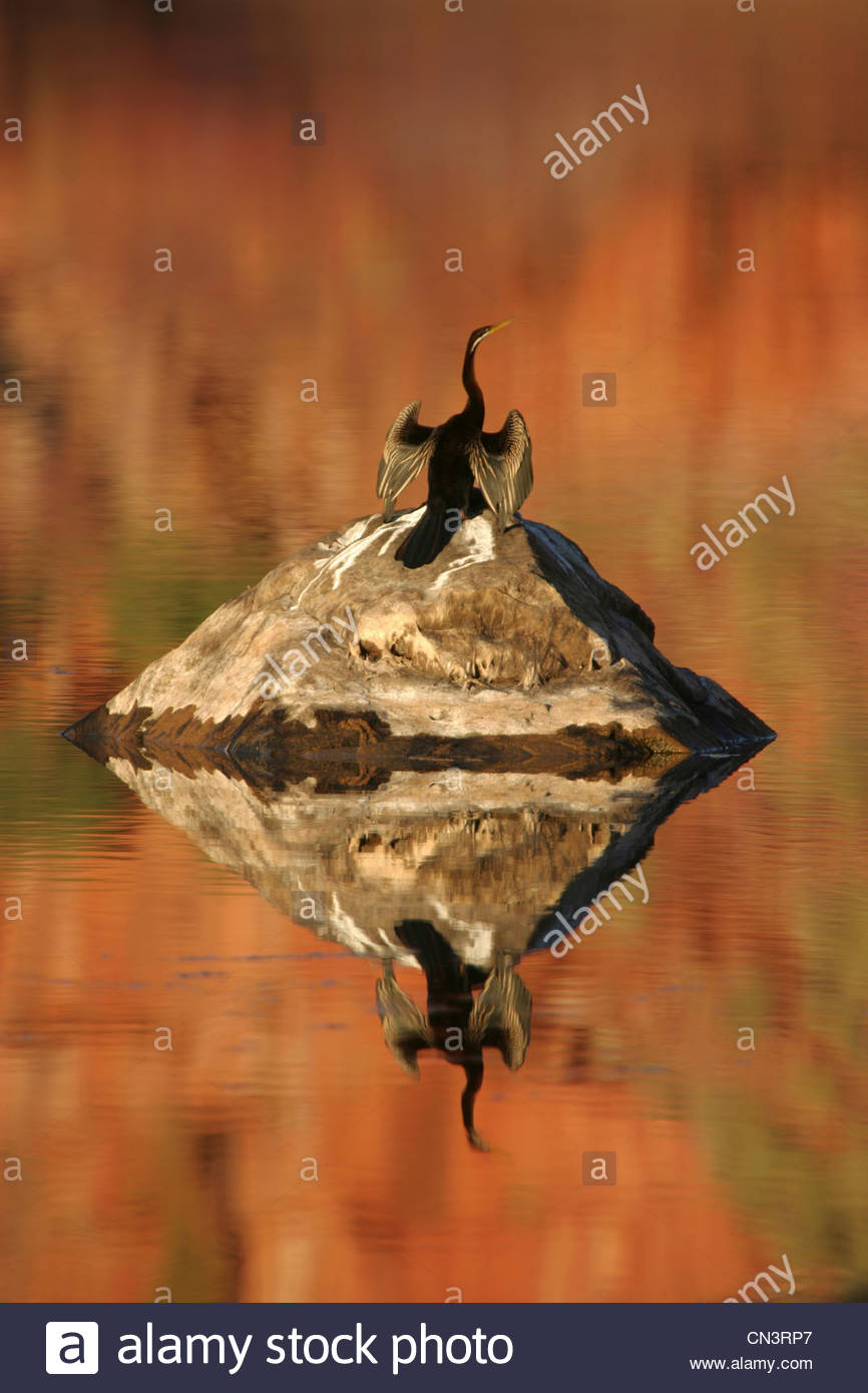 Un australiano darter drys le sue ali al sole dopo un tuffo, Mornington Santuario, Western Australia. Immagini Stock
