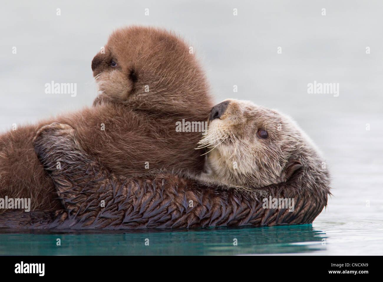 Femmina Lontra di mare azienda cucciolo neonato al di fuori dell'acqua, Prince William Sound, centromeridionale Immagini Stock