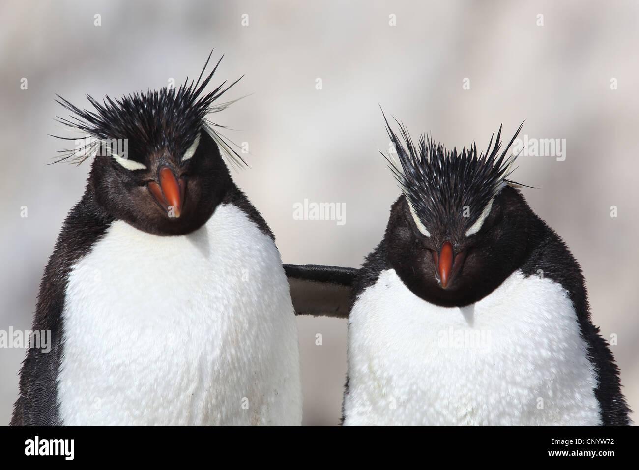 Pinguino saltaroccia (Eudyptes chrysocome), abbracciando, Argentina, Isola dei Pinguini Immagini Stock