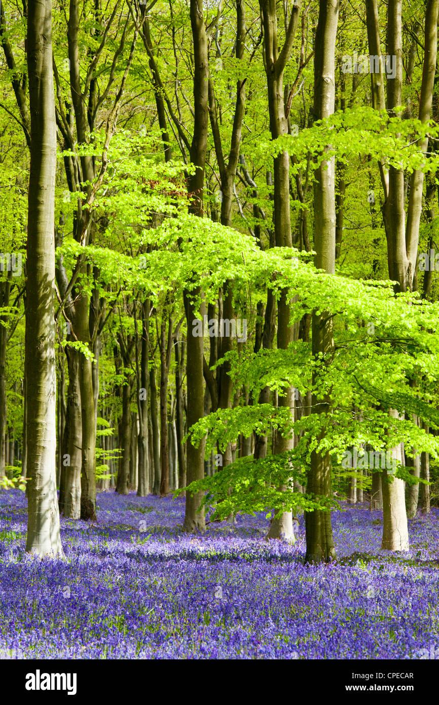 Pezzata del sole cade attraverso il fresco verde fogliame di un legno di faggio delle Bluebells in Inghilterra, Immagini Stock