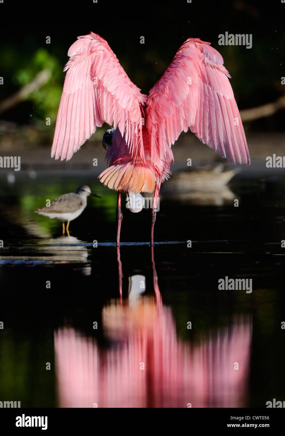 Roseate Spoonbill stretching le sue ali Immagini Stock