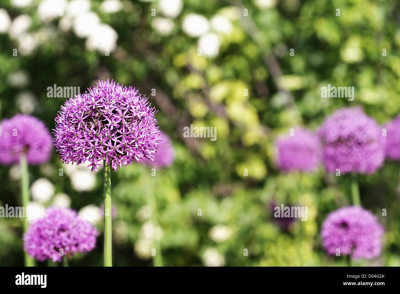 Giardino della fioritura Allium con il fuoco selettivo su Alium in primo piano. Immagini Stock