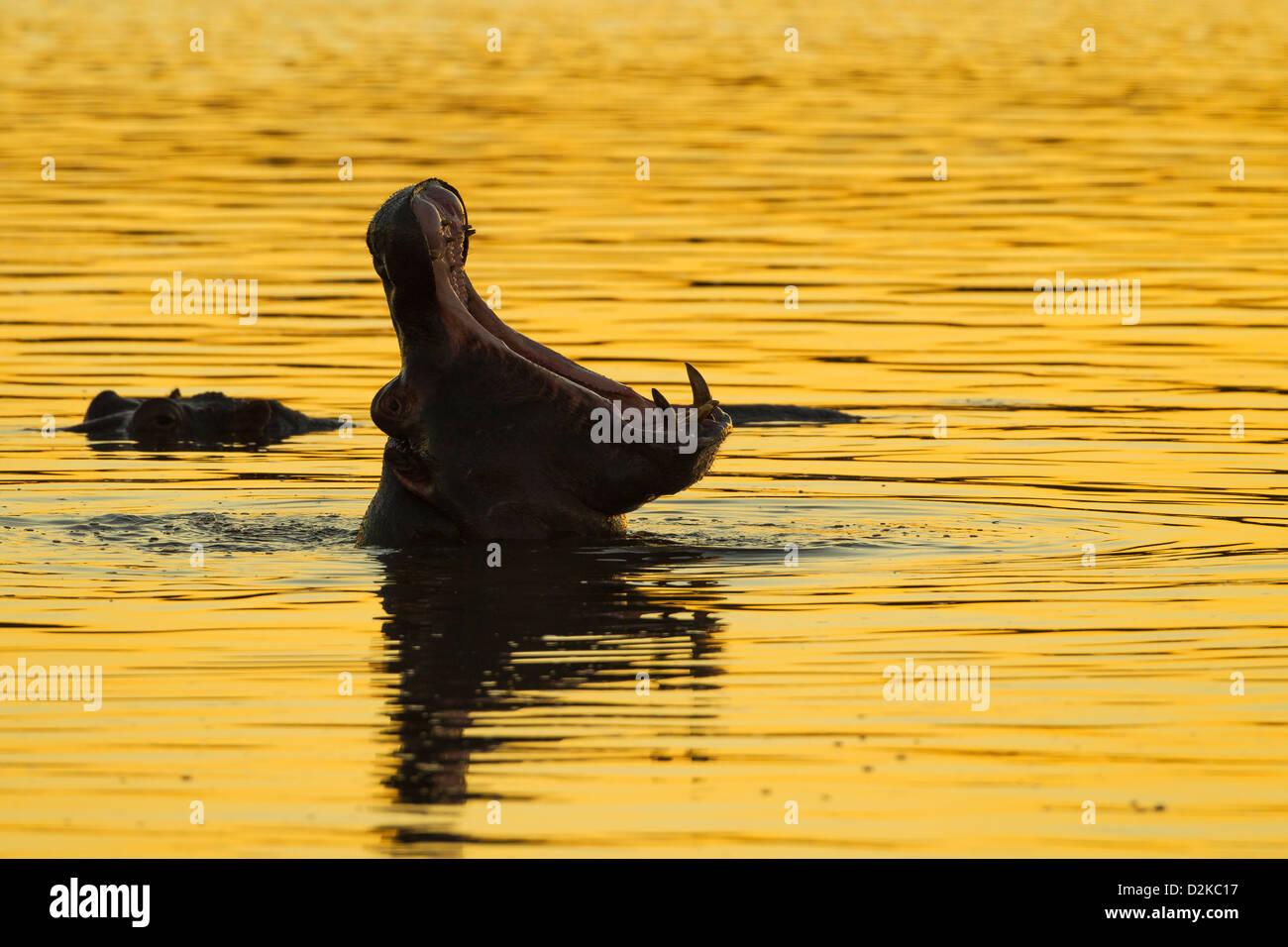 Silhouette di un ippopotamo sbadigli nel golden luce della sera Immagini Stock
