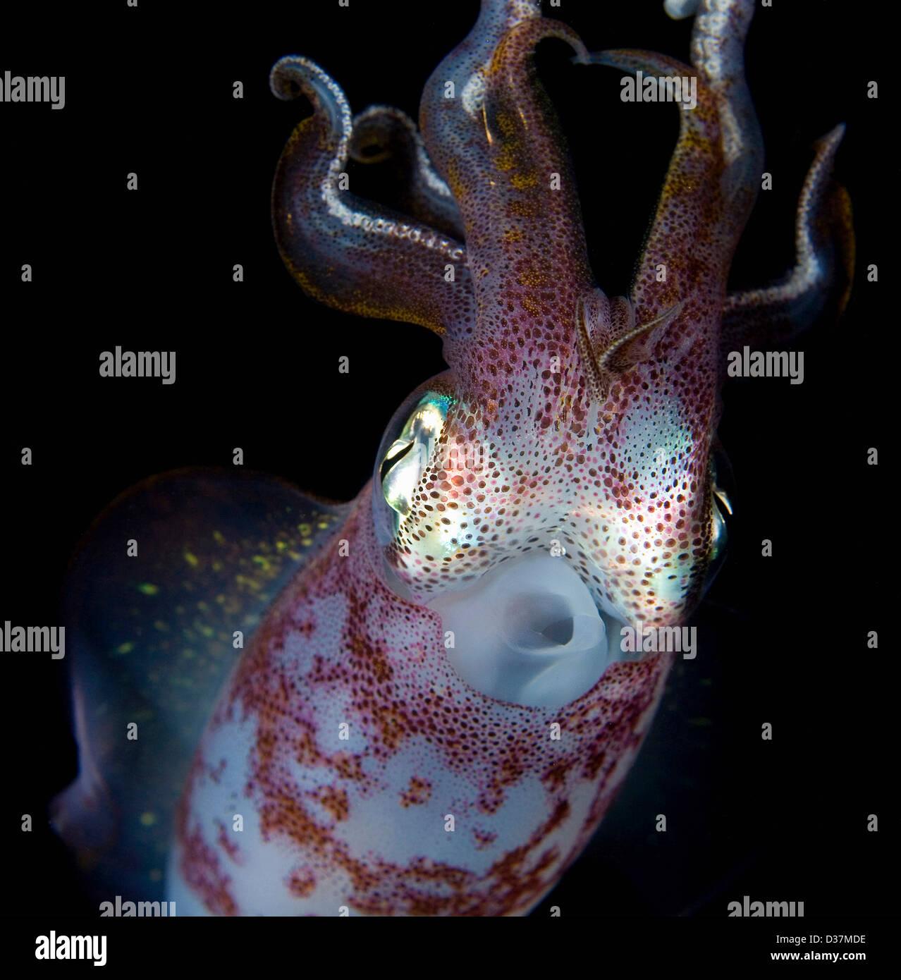 Close up di calamari sott'acqua di notte Immagini Stock