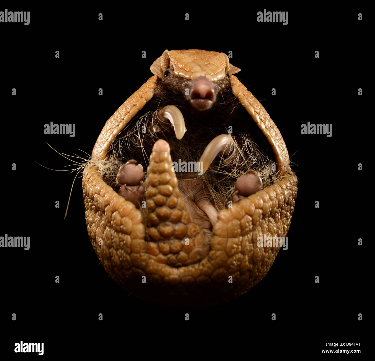 Tre nastrare armadillo isolati su sfondo nero. Immagini Stock